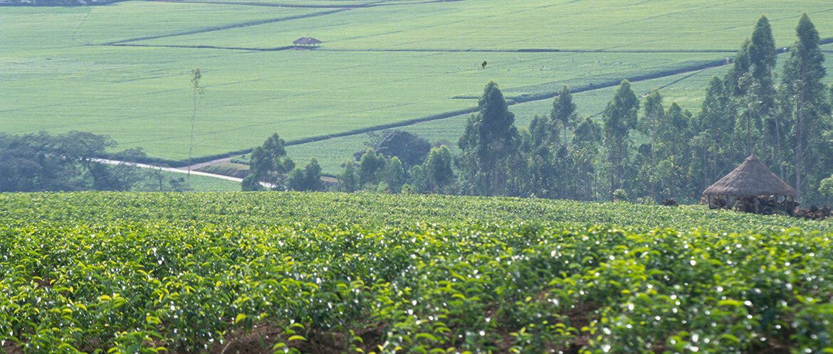 Discover how Salada teas are produced