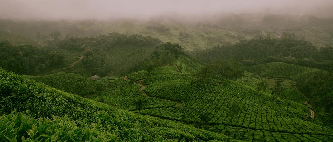 L'histoire du thé